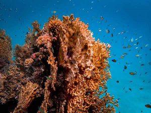 significado de soñar con coral