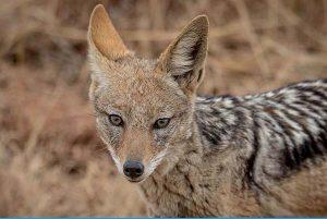 significado soñar con coyotes