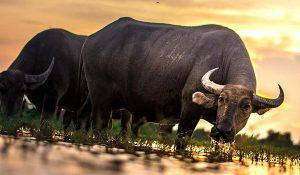 significado soñar con un toro